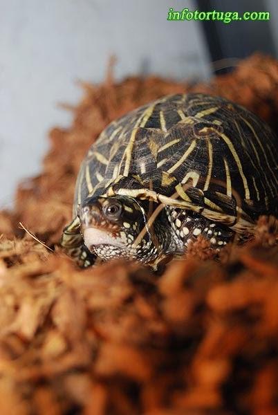 Terrapene carolina bauri - Florida box turtle