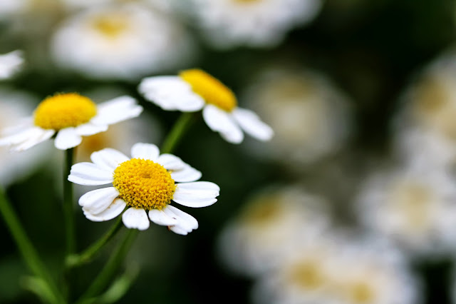 Pickin' Daisies ~ Photo by ChatterBlossom #daisy #flower #garden