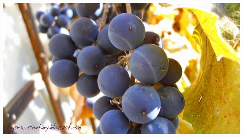 domowy wyrób win i miodów oraz octów owocowych