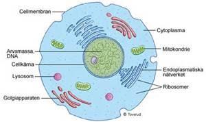 cellens delar och funktioner
