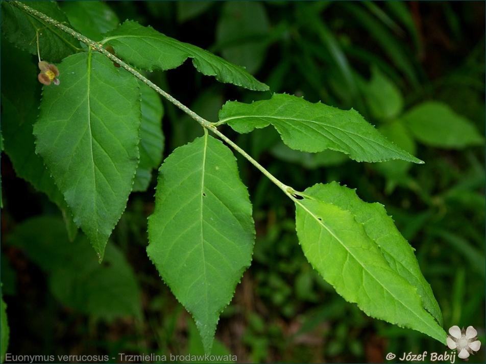 Euonymus verrucosus - Trzmielina brodawkowata liście