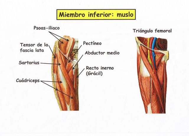 Flexibilidad del Musculo Inferior en el Bailarín: Músculos de las ...