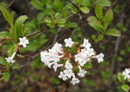 Detail of white Viburnum Farrerii blooms in Mount Pleasant Cemetery by garden muses: a Toronto gardening blog