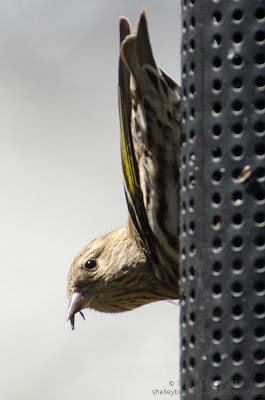 Pine Siskin. photo © Shelley Banks, all rights reserved.