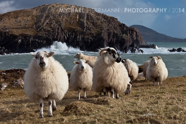 Sheep near Horse Island Ballinskelligs County Kerry