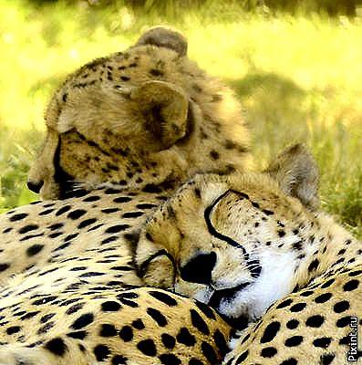 Белла Ахмадулина - Два гепарда