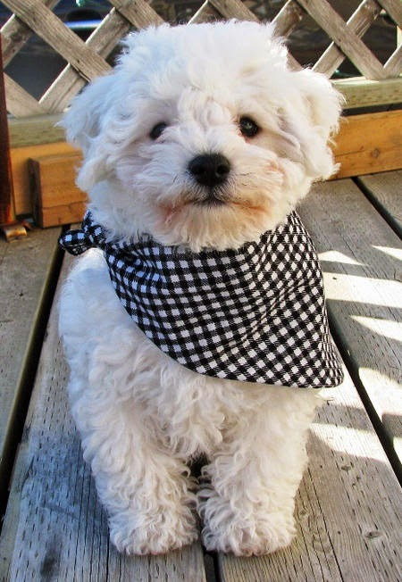 Waylon the Bichon Frise