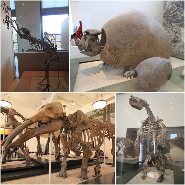 Simosthenurus Occidentalis (short-tailed kangaroo), Glyptodonts (traveling tanks), Glossotherium Robustus (Tongue Beast) & Gomphotherium (Elephants million years ago) at Museum Natural History, New York, USA