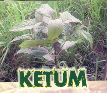 http://1.bp.blogspot.com/-NQ_9fx9PdIs/TfoP9yeFiPI/AAAAAAAAACI/n0fQuvBvQOQ/s1600/Ketum.png