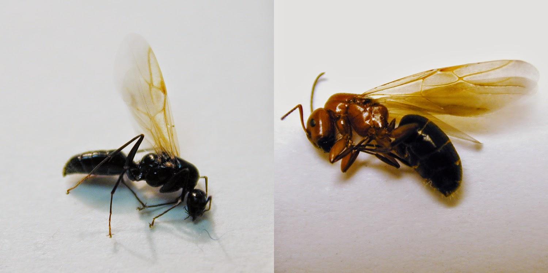 Cucarachas control de hormigas carpintera - Plaga de hormigas en mi casa ...