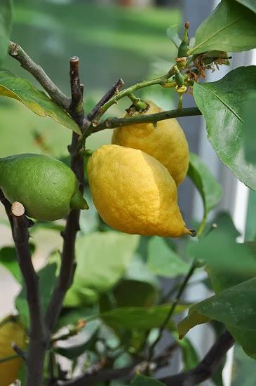 Citroner...
