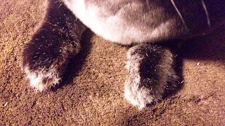 うさぎの前足、ミニレッキス