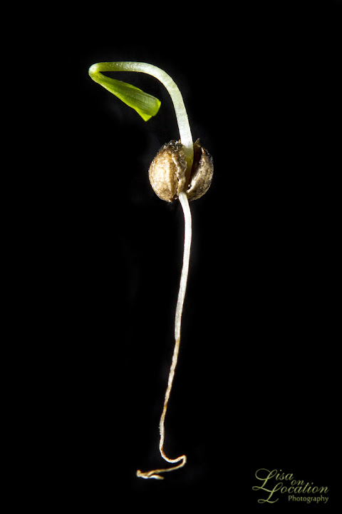 coriander seed germination, Lisa on Location photography, macro,365 photography project, San Antonio, Austin, New Braunfels