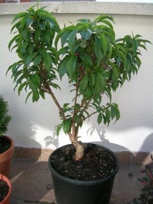 Estilo y hogar rboles frutales peque os para terrazas o - Plantar arboles frutales en macetas ...