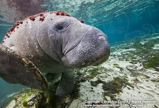 Florida Manatee underwater photograph available for licensing