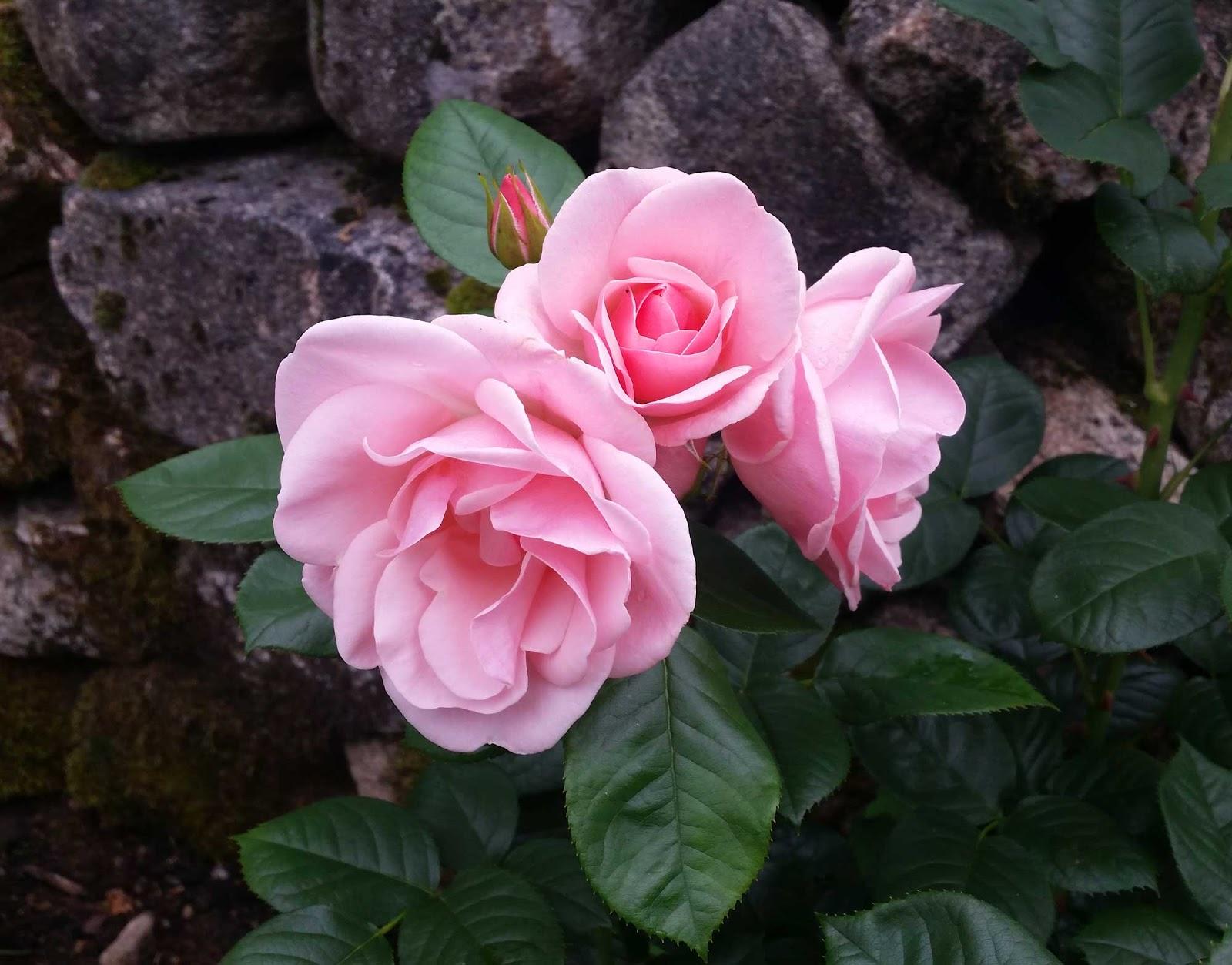 astrid lindgren rosenbuske
