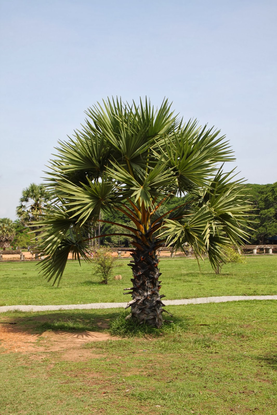 trees and plants cambodian sugar palm tree. Black Bedroom Furniture Sets. Home Design Ideas