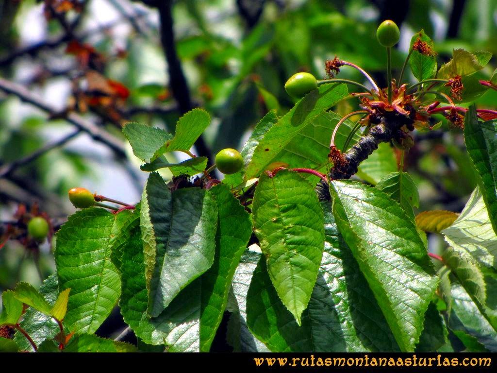 Senda Verde Camocha - Pico Sol - Piles: Cerezas en el cerezal