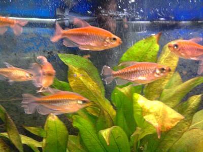 Congo tetra Lufundi Phenacogrammus interruptus Fish care
