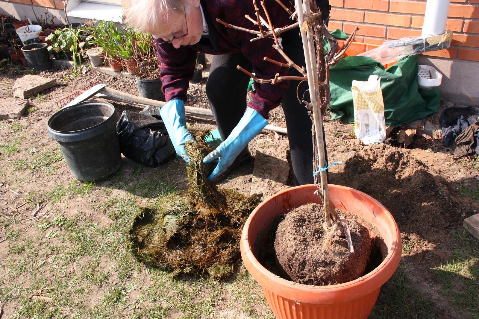 plantera bärbuskar på våren