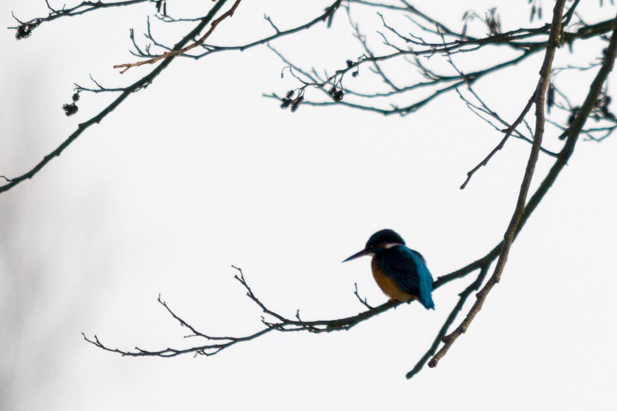 IJsvogel loert op prooi (en op ons)