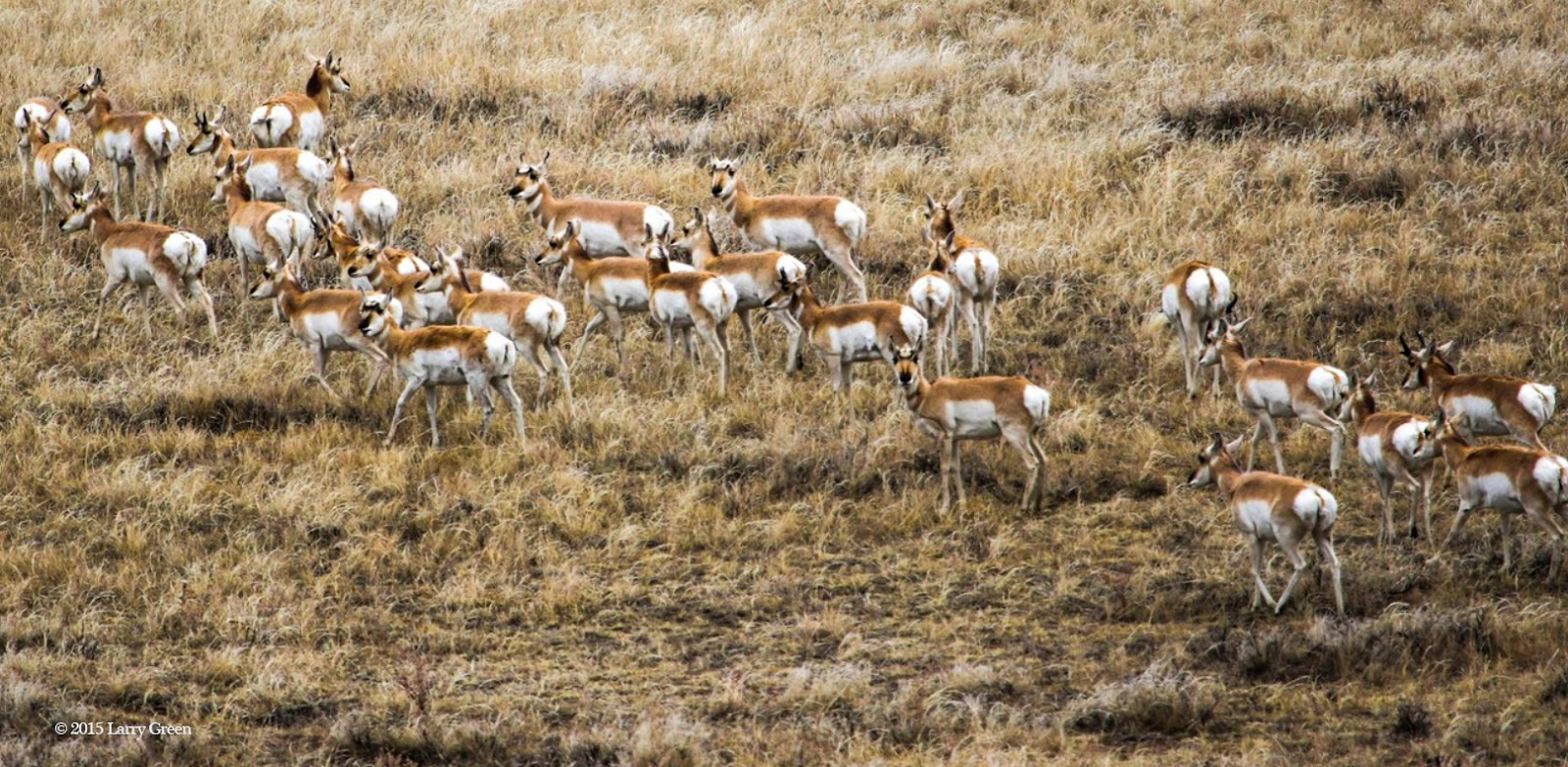 Antelope graze in grasslands in Thunder Basin, Wyoming