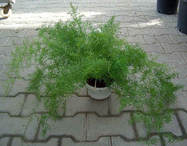 Fiori piante e giardini del mondo asparagina la pianta for Pianta dell appartamento da 300 piedi quadrati