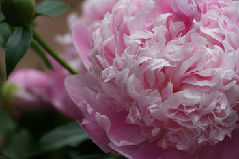 Pink Peony Love