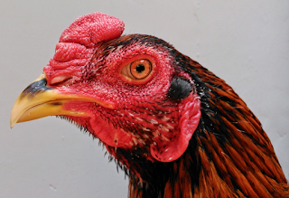 Kepala, Jengger, dan muka ayam bangkok