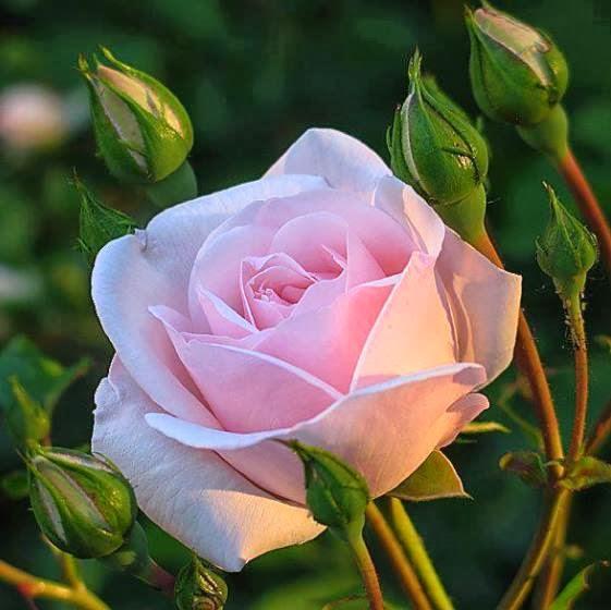 A Rosa de Sant'Ana