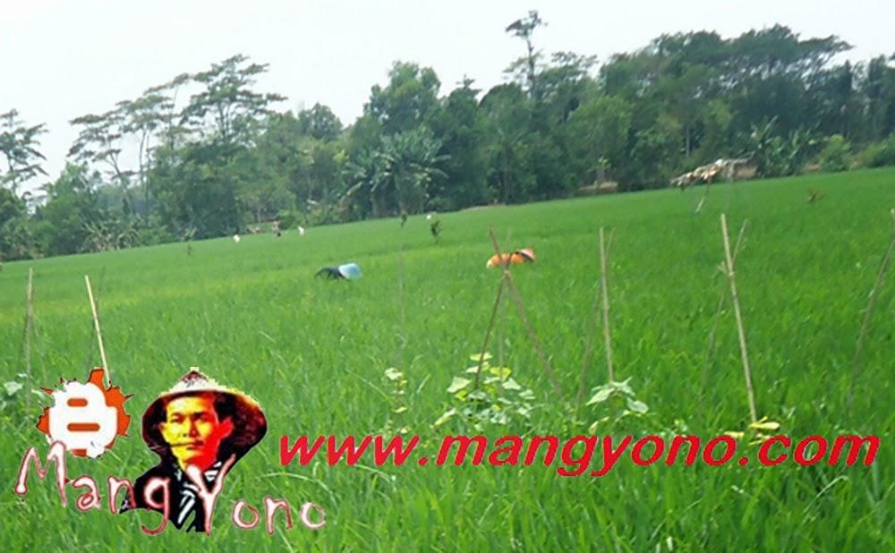 Ngarambet Di Sawah Mang Yono.