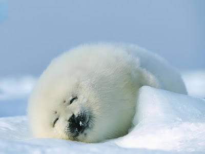 Seal Cub Normal Desktop Backgrounds,Stills,Wallpapers