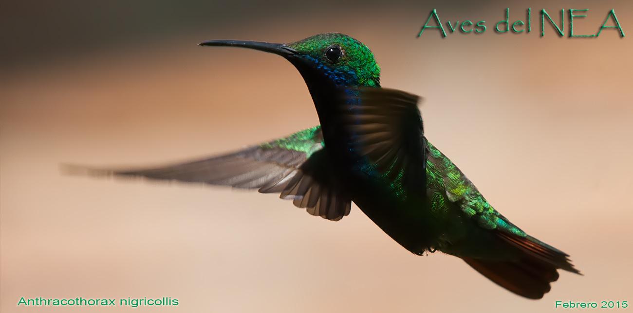 Aves del Nea