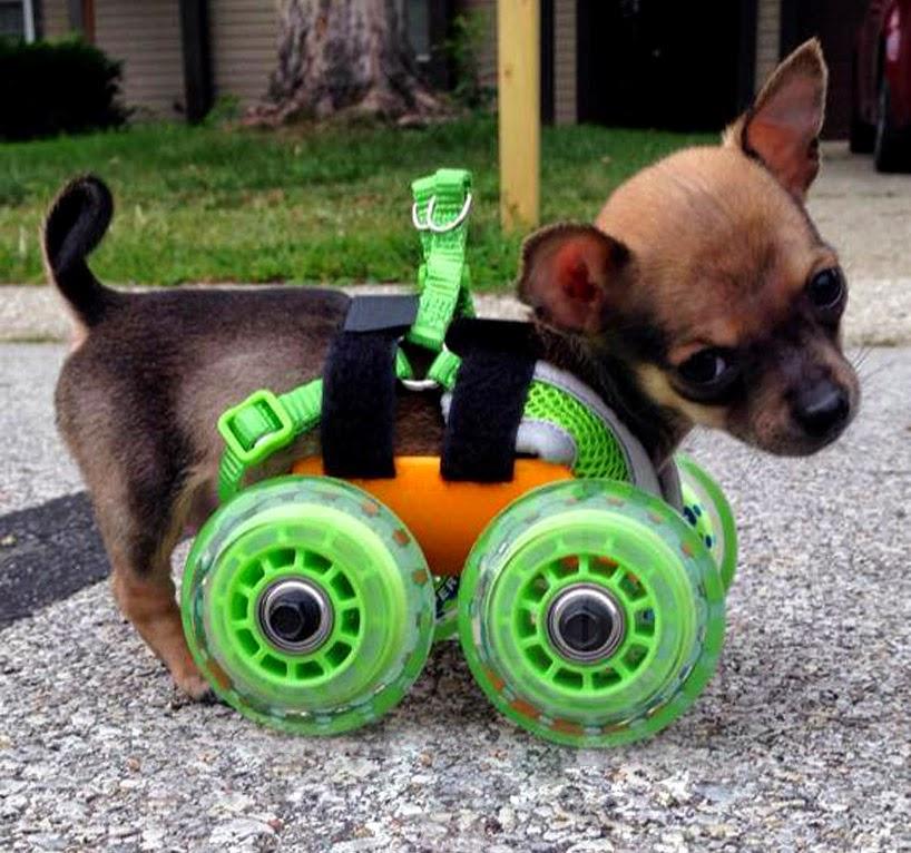 Imágenes graciosas de perro chihuahua - imagenes chistosas de perros chihuahua