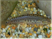 Indian Spiny Loach Fish Pictures