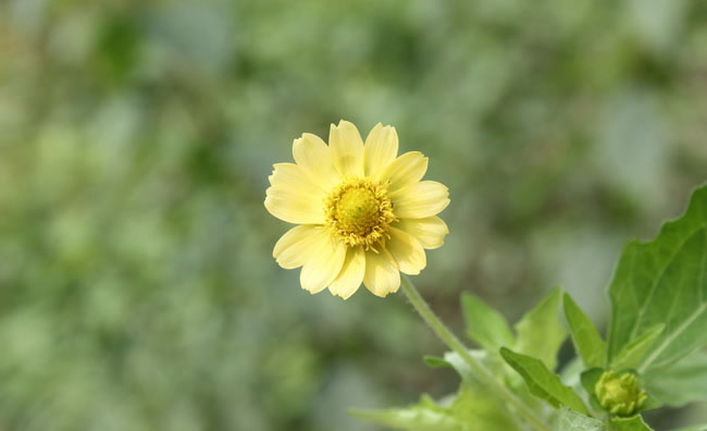 Butter Daisy Flowers