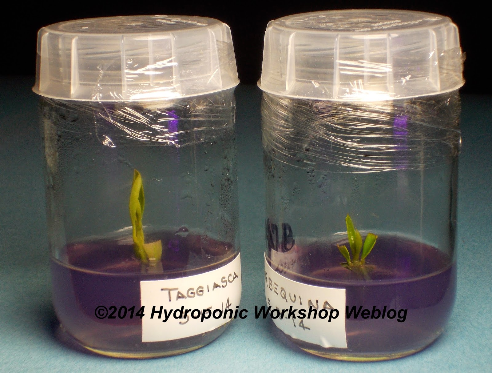 Another Surprise Is That I Have Been Able To Use Growing Tips In Addition Single Node Explants Both Of The Above Photo Are