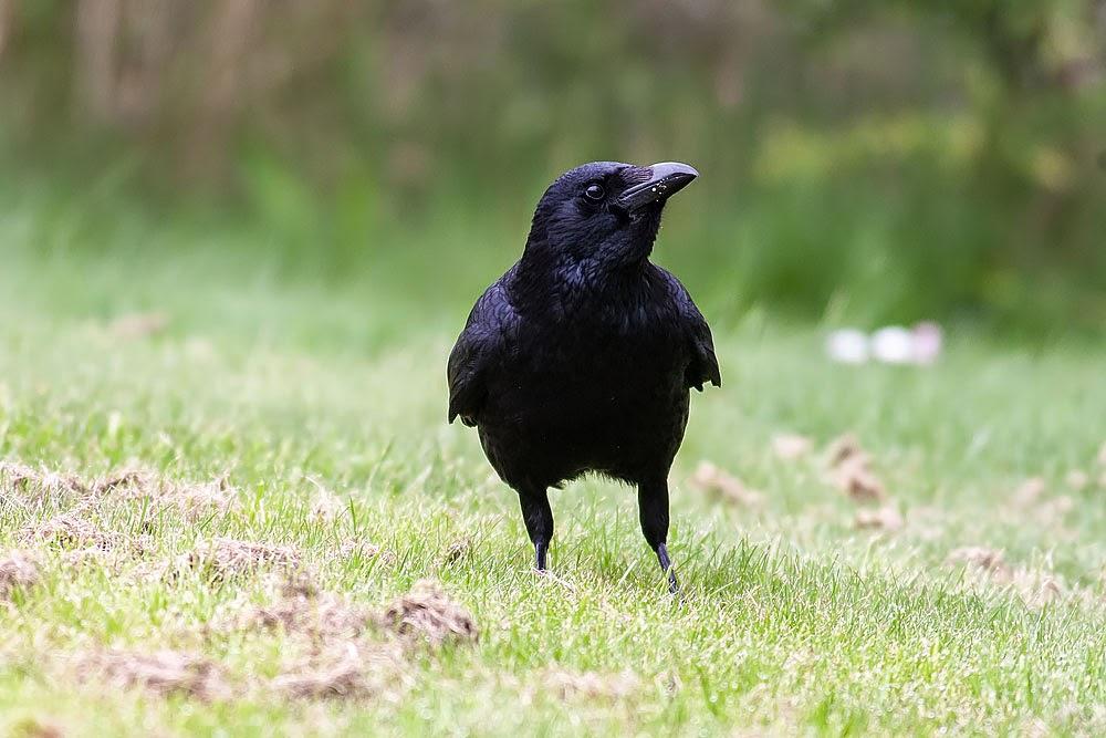Carrion Crow - Lodge Lake, Milton Keynes