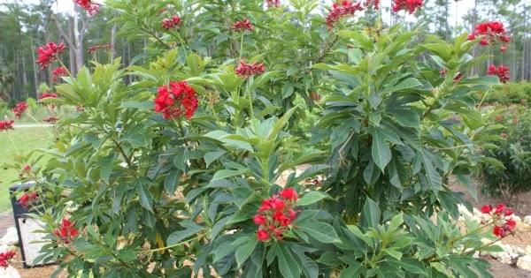 Jatropha integerrima flore de l le de la r union for Entretien jardin reunion