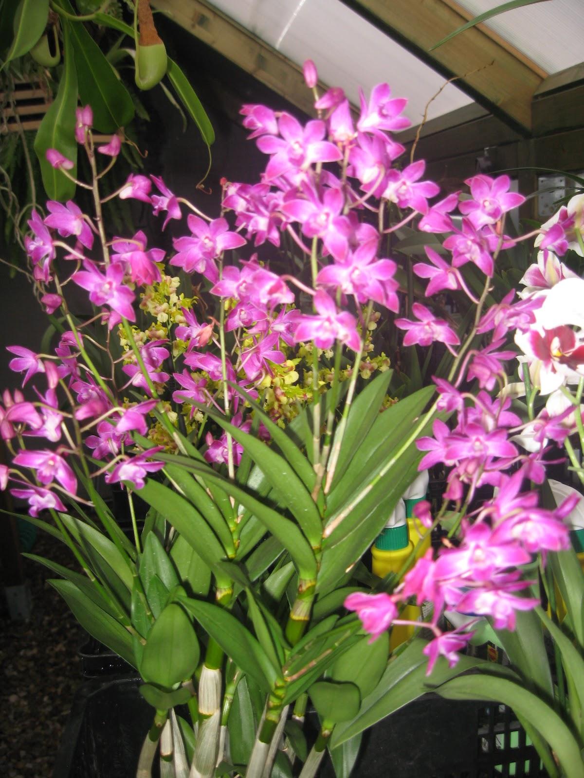 Orqu deas blog de angel mar dendrobium kingianum - Como cuidar orquideas en maceta ...