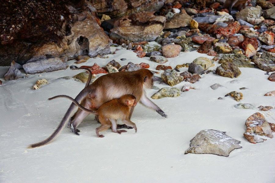 Monkey Beach na Koh Phi Phi Leh, plaża małp w Tajlandii