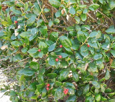 Holly Berries in November, © B. Radisavljevic