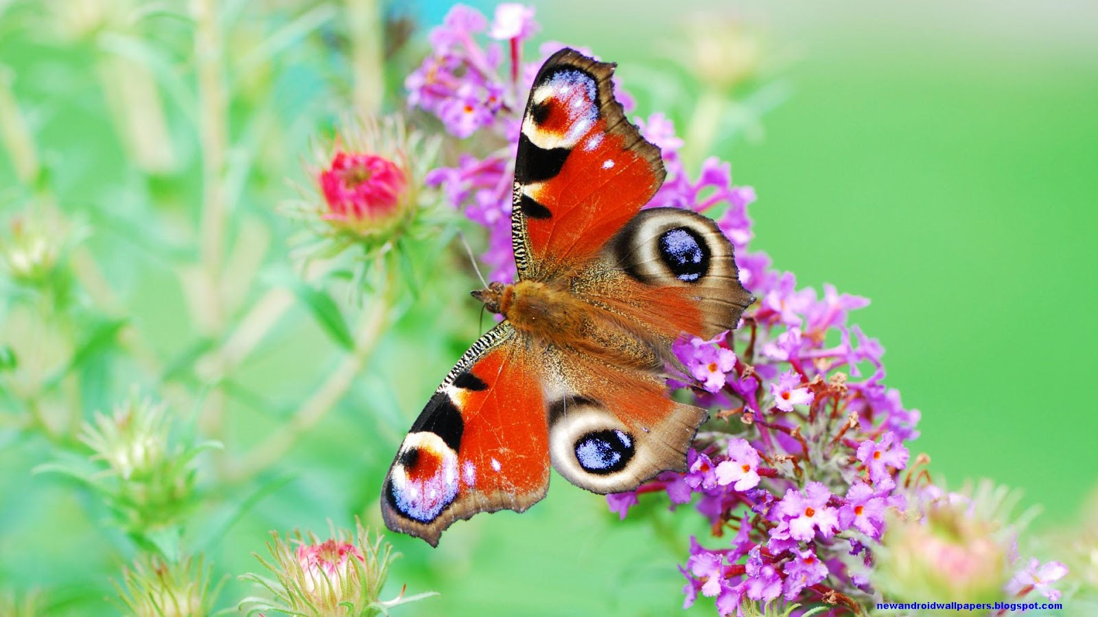Beautiful butterfly with flowers hd wallpapers free for android beautiful butterfly sitting on flower hd wallpapers for android and desktop voltagebd Choice Image