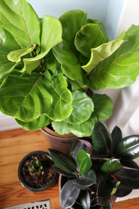 fiddle leaf fig rubber plant ficus