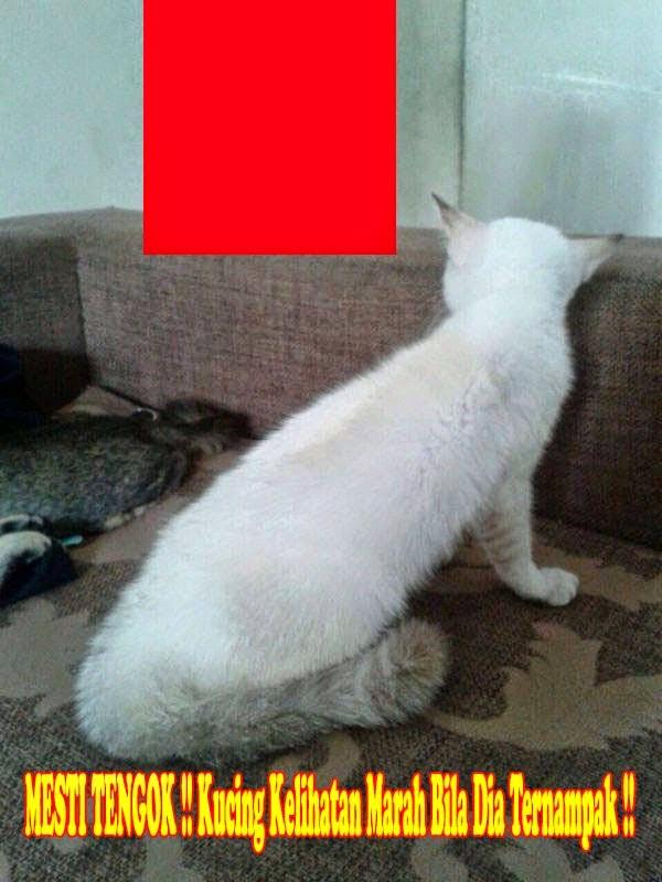 MESTI TENGOK Kucing Kelihatan Marah Bila Dia Ternampak