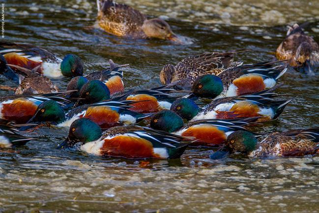 Λίμνη Δύστου: Χουλιαρόπαπιες
