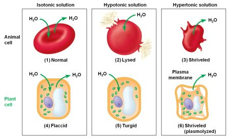 Isotonic, Hypotonic, and Hypertonic