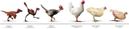 Siklus Evolusi Ayam