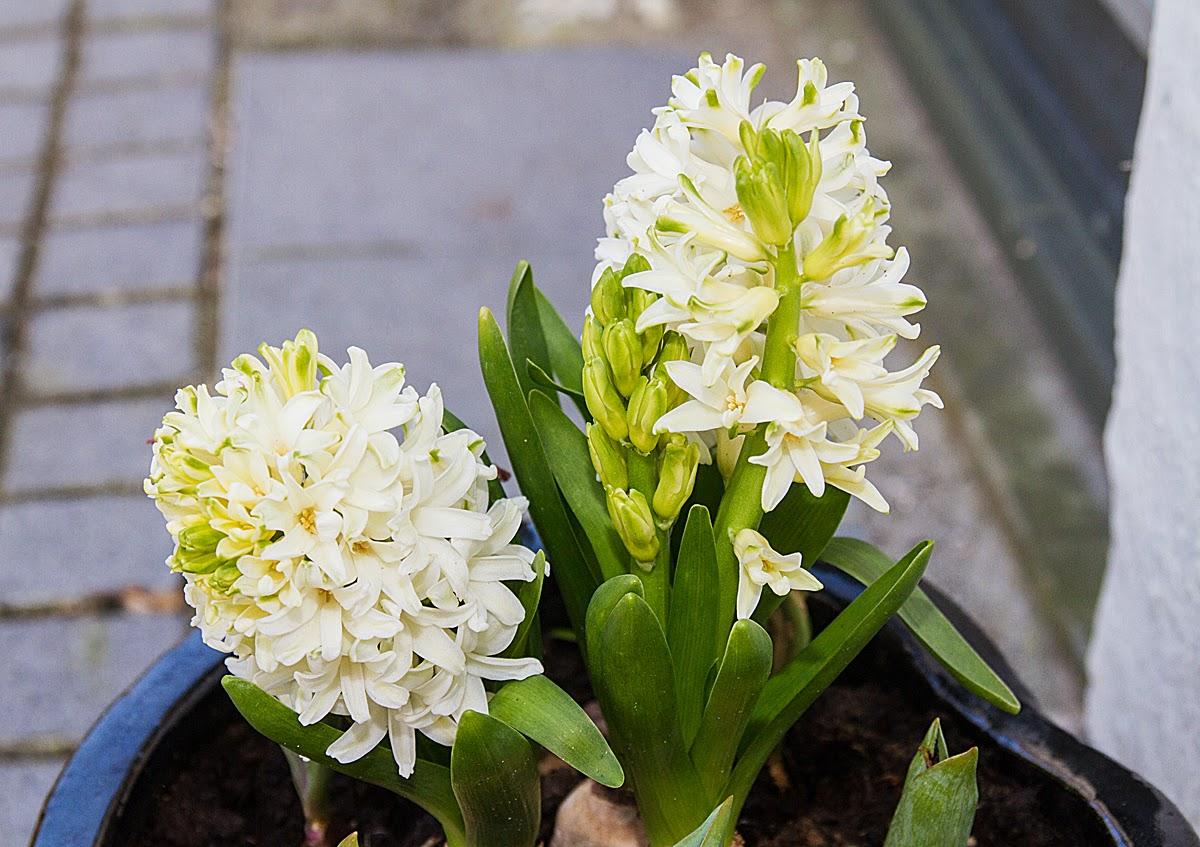 i luften er der duft af hyacinter