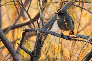 Colirrojo tizón (Phoenicurus ochruros) Black Redstart
